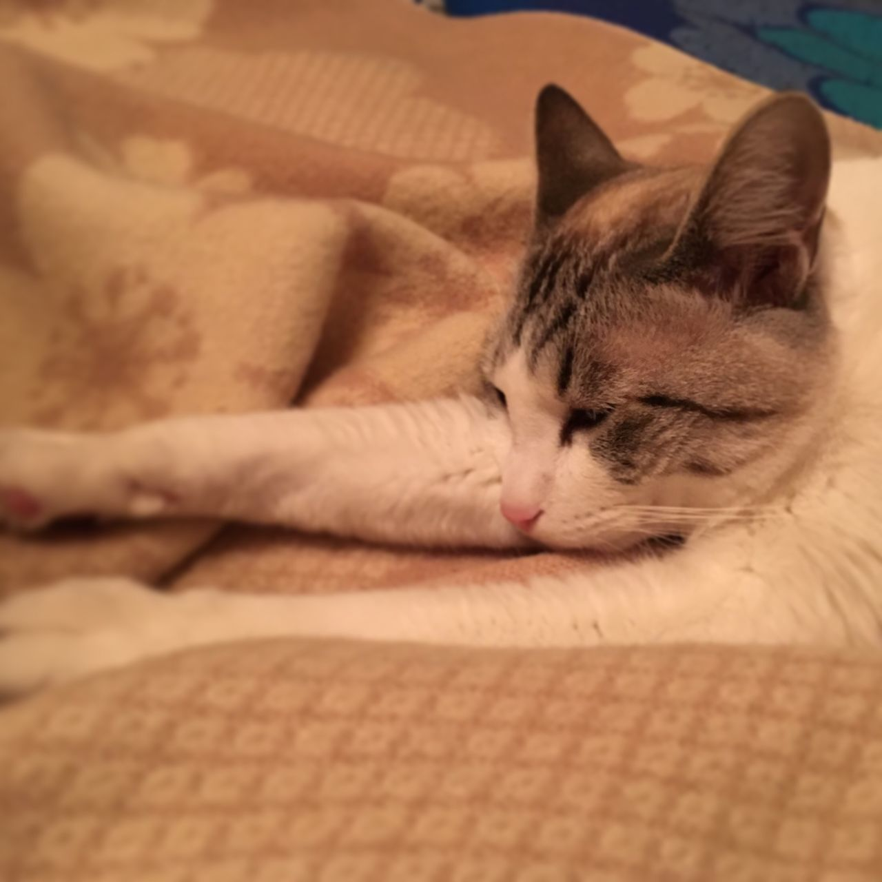 domestic cat, pets, domestic animals, feline, mammal, cat, one animal, animal themes, sleeping, eyes closed, indoors, relaxation, no people, close-up, day