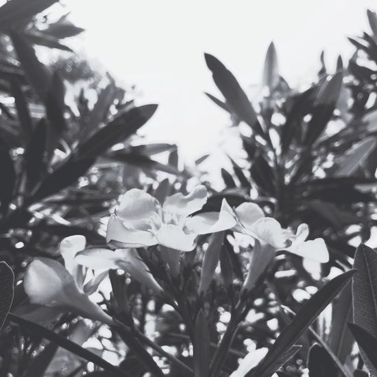 🌷 Flowers 🌹 Blackandwhite Light And Shadow Oleander Goodnight