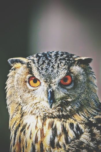 Uhu Uhu Eagleowl Eule Vogel Bird Bird Owl Bird Of Prey Portrait Looking At Camera Close-up Animal Eye HEAD