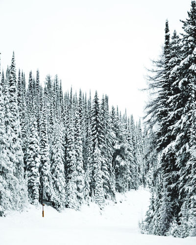Snow covered pine trees in forest against clear sky
