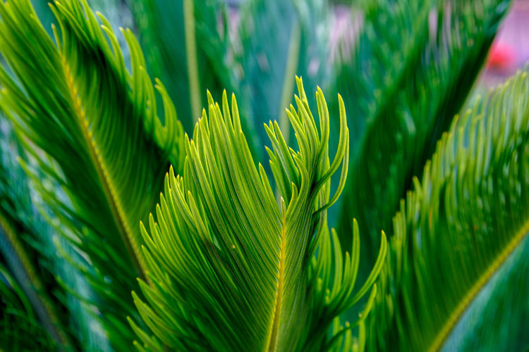 Tips of evergreen plant