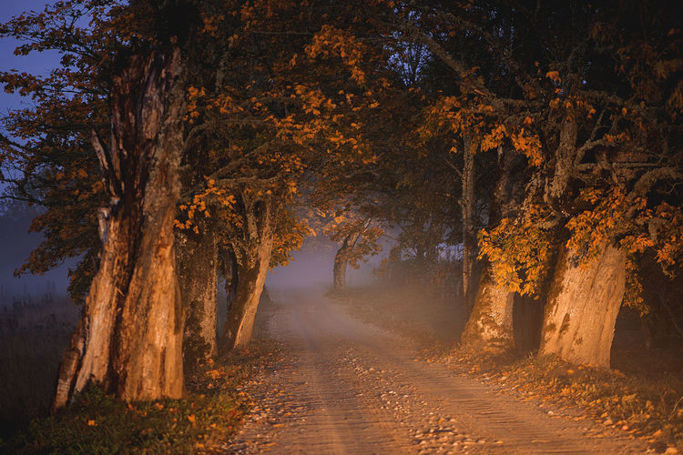 Oak alley with warm evening sunlight and fog in the background
