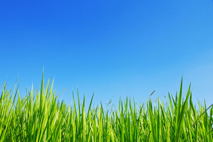 Green Grass On A Blue Sky Background Copy Space Green Green Color Backgrounds Beauty In Nature Blue Blue Sky Clear Sky Close-up Copy Space Day Field Grass Green Color Green Grass Green Grass And Sky Green Grass Blue Sky Growth Meadow Nature No People Outdoors Sky Summer
