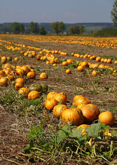 The field of ripe yellow orange pumpkins ready to harvest in Autumn season Agriculture Autumn Good Weather Crop  Cultivated Land Paint The Town Yellow Farming Field Food Food And Drink Freshness Growth Harvest Landscape Nature No People Orange Color Outdoors Pumpkin Ripe Rural Scene Season  Sunny Day Sunshine Yellow