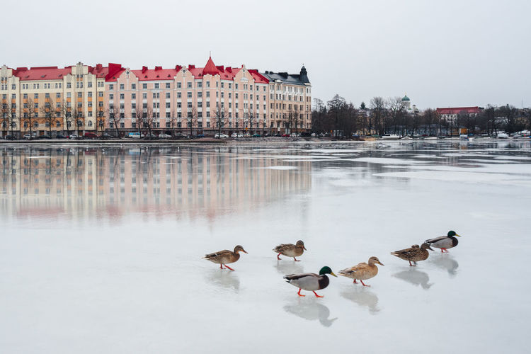 Ducks by frozen lake against buildings in city