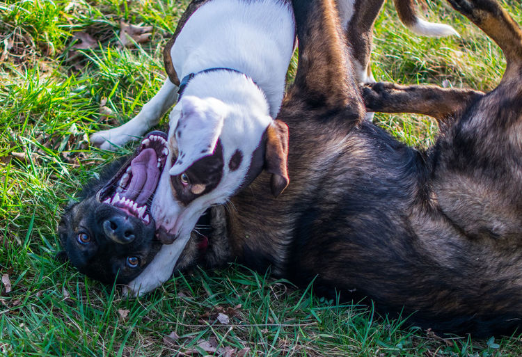 Dogs playing on grassy field