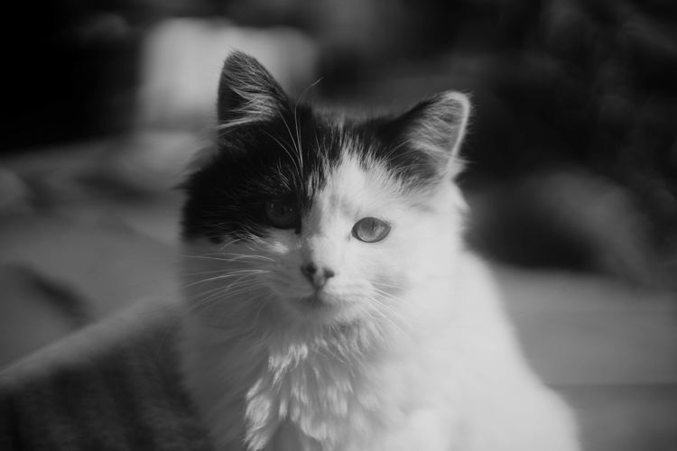 Animal Themes Cat Close-up Day Domestic Animals Domestic Cat Feline Focus On Foreground Indoors  Looking At Camera Mammal No People One Animal Pets Portrait Whisker