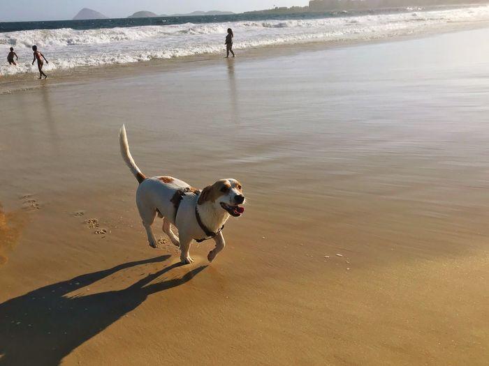 Running dog Rio De Janeiro Brazil Dog Canine One Animal Pets Domestic Domestic Animals Beach Sunlight Sea Sand Day