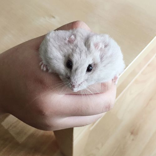 Close-up of hand holding white hamster