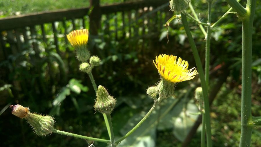Beauty In Nature Flower Flower Head Flower In The Garden Flowers Nature Outdoors Plant Yellow