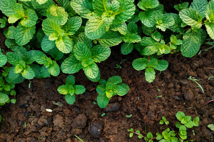 Fresh mint grow in the garden