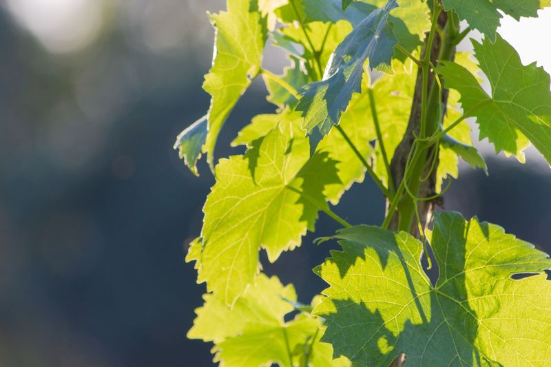 Sunny Vino Wineyard Weinberg Wine Grape Wine Vino Leaf Plant Part Growth Plant Food And Drink Nature Sunlight Green Color Food Freshness Fruit Beauty In Nature Outdoors No People Grape Agriculture Healthy Eating