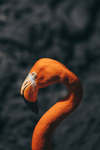 Animal Themes Animal Wildlife Animals In The Wild Beauty In Nature Bird Close-up Day Flamingo Flamingo Focus On Foreground Nature No People One Animal Orange Color Outdoors Water