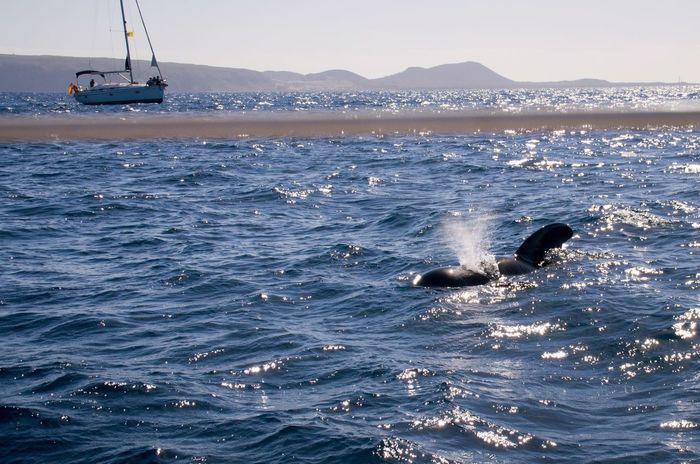 Pilot Whales in Tenerife. Animals Boat Canary Islands Nature Nature's Diversities Ocean Pilot Whales Sailing Sea SPAIN Spring Tenerife Water Whale Watching Whales Wildlife