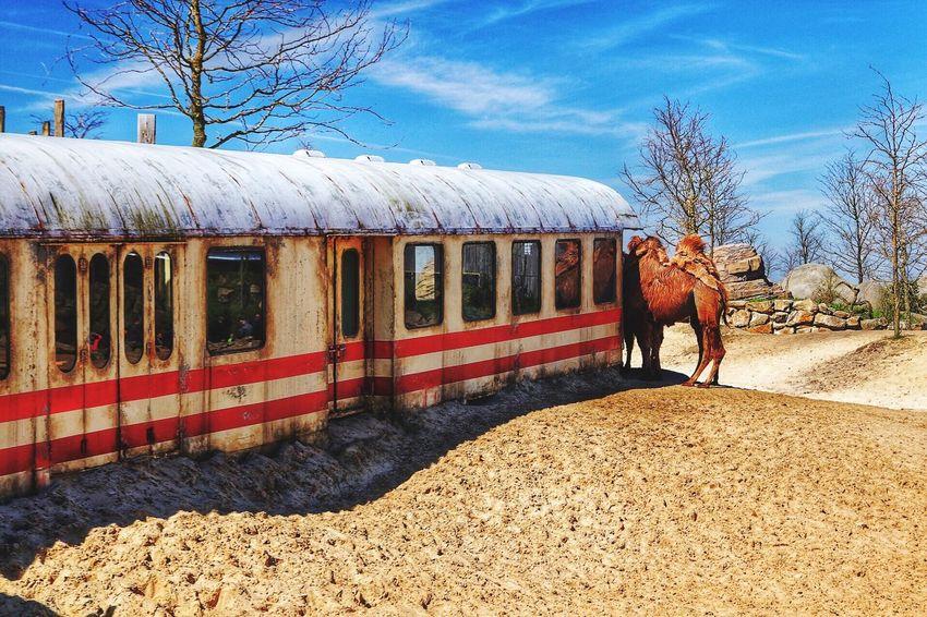 Wasteland Train Armageddon Desert Deserts Around The World Camel Dromedary Sand Train Tracks Track