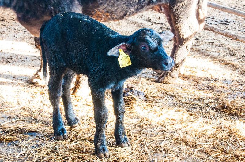 Calf standing on field