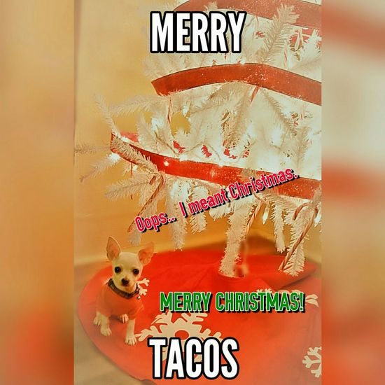 Too Cute Too Funny My Lil Man Caliber His First Meme Chihuahuas And Tacos Chihuahua World Chihuahua Life Chihuahuas Of Eyeem EyeEm Chihuahua Lover Chihuahua Lovers 😍😌😊 Merry Christmas 🎄🎅⛄🌟
