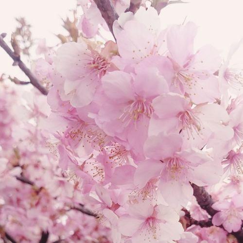 今日 は 39の日 皆さま いつも ありがとぅございまーす 桜 サクラ 美里 Japanese Shrine