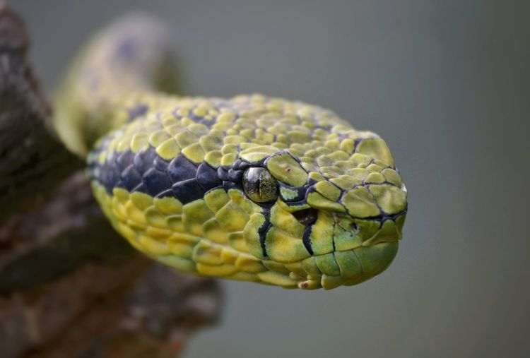 A large adult Green Pit Viper, photographed sunbathing on a log. Animal Eye Nature Animal Scale Poisonous Warning Sign Snake Reptile Animal Themes Close-up Animal Animal Body Part Animal Head  Viper  Green Pigeon Venomous Snakes Reptiles Reptile Photography Wildlife Wildlife & Nature Wildlife Photography