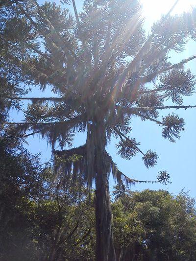 Day Nature No Edit/no Filter No People Pinheiro Tall Tree Tranquility Tree Vegetation