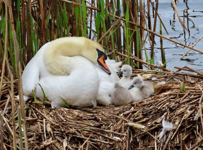 New mother mute swan and her cygnets nest dried twigs and sticks watery reeds birds of EyeEm animal themes beauty in nature outdoors Bird Animal Wildlife Group Of Animals Animal Nest High Angle View No People