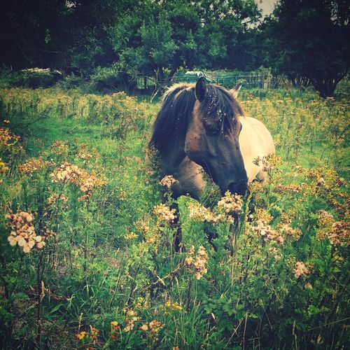 Wild Pony in the Flower Field IJ Muiden Kennemerduinen Zuid-Kennemerland Holland Nederland The Netherlands Summer2015