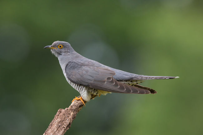 cuckoo typical pose Coucou Gris Cuco Europeo Cuculus Canorus Animal Themes Animal Wildlife Animals In The Wild Bird Cuckoo Day Kuckuck Nature No People Outdoors