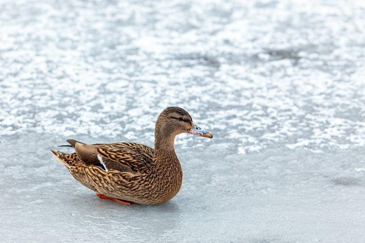 Mallard duck in a lake