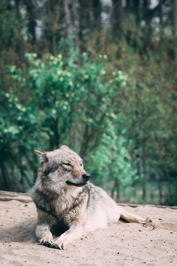 Wolf resting on a land