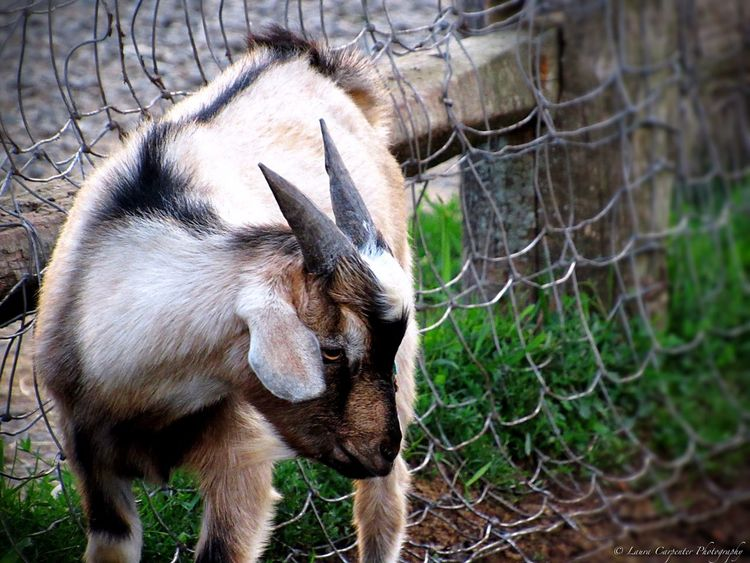 Animal_collection Animal_captures Animal Horns Fur Farmanimals Farm WeekOnEyeEm Goat Chainlink Fence One Animal Domestic Animals Animal Themes Day Outdoors Close-up No People Nature