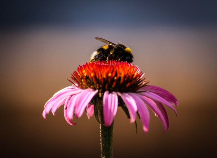Close-up of bumblebee on eastern purple coneflower