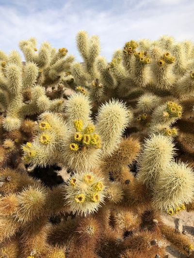 Cholla cactus Cholla Cactus Garden Joshua Tree National Park Nature Growth Sky Day Beauty In Nature Close-up California Dreamin No People Plant Outdoors Backgrounds Flower