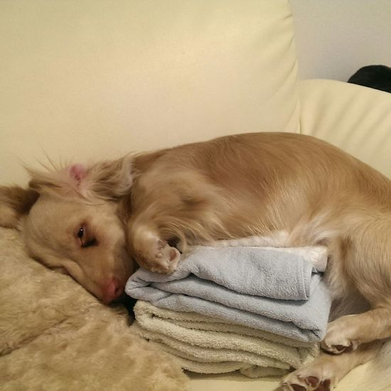 ねむねむ 犬 Doglovers Dogstagram Doggy Cute Pets Goodsleep おやすみ