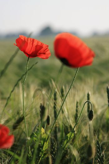 Flower Poppy Red Plant Nature Uncultivated No People Close-up Meadow Growth Focus On Foreground Flower Head Outdoors Grass Beauty In Nature Day Freshness Fragility Landscape Sky Poppy In A Field EyeEm Best Shots - Nature Romantic Freshness Beauty In Nature