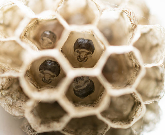 Close-up Selective Focus No People Pattern Hexagon Honeycomb Backgrounds Animal Themes Natural Pattern Shape Animal Full Frame Design Nature Day Animal Wildlife Indoors  Still Life Animals In The Wild Insect Temptation Embryo Hive Embrion