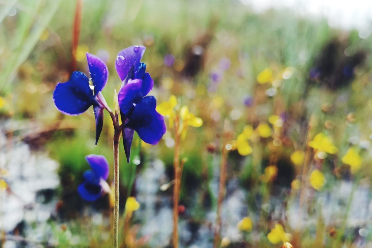 plant, flower, flowering plant, beauty in nature, growth, vulnerability, fragility, freshness, close-up, purple, nature, petal, no people, selective focus, inflorescence, flower head, day, field, focus on foreground, plant stem, outdoors