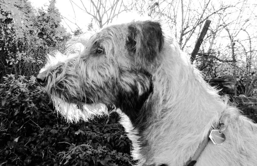 Blackandwhite Monochrome Taking Photos The Places I've Been Today Dezember Cearnaigh Dezember 2015 Dog Love Dogsofinstagram Dogslife Dogoftheday Animal_collection Dogs Of EyeEm I Love My Dog❤ Irishwolfhound Irish Wolfhound Dog Of The Day How's The Weather Today? My Dogs Are Cooler Than Your Kids Dogwalk