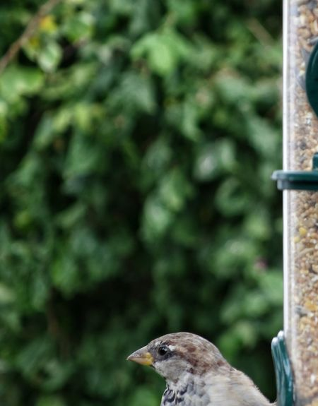 AntiM Animal Themes Animal Wildlife Animals In The Wild Bird Bird Feeder Hanging Bird Of Prey Close-up Day Focus On Foreground Green Color House Sparrow Mammal Nature No People One Animal Outdoors Perching Sparrow