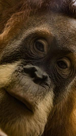 Close up portrait of gorilla