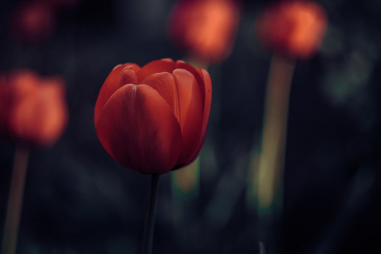 Exceptional Photographs Silhouette EyeEmNewHere EyeEm Nature Lover Simple Beauty Change Poland Wiosna Spring Has Arrived Bokehlicious Bokeh Love Flower Flower Head Red Tulip Close-up In Bloom Petal Blossom Single Flower Springtime Decadence