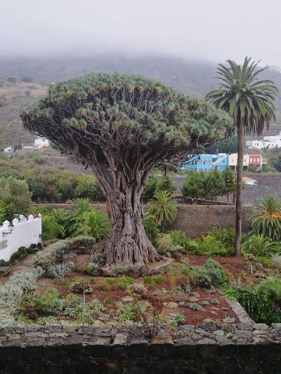 Palm Tree Nature Day No People Travel Destinations Vacations Tenerife Tourism Canary Islands eldrago