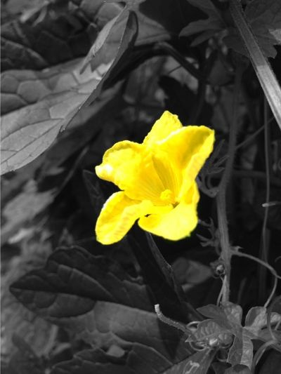 bitter melon flower. ゴーヤの花 Yellow Bw_collection Flowerporn