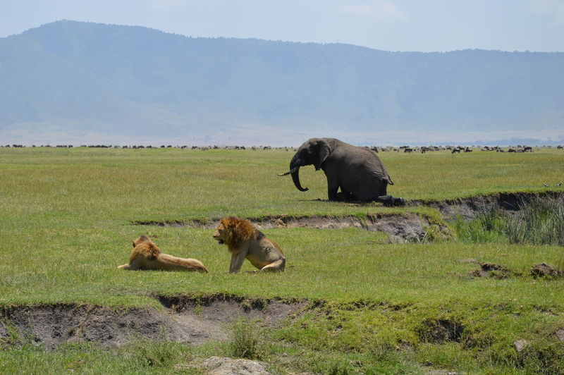 Lions and elephant on grassy field against mountain