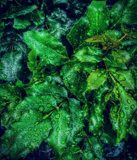 Beauty In Nature Green Leaf Leaves Mobile Mobile Photography Mobilephoto Mobilephotography Nature Nature Rain RainDrop Waterdrops