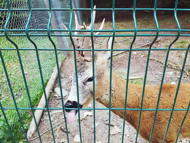 Deer Wild Animal Deer EyeEm Selects Prison Cage Animals In Captivity Chainlink Fence Close-up
