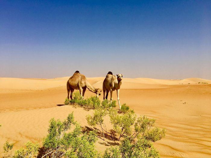 Camels in desert with desert plants