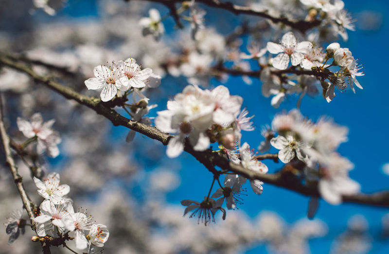 Flowering Plant Flower Plant Fragility Vulnerability  Freshness Growth Beauty In Nature Blossom Tree Springtime Nature Branch Petal Day Close-up White Color Focus On Foreground No People Selective Focus Flower Head Cherry Blossom Cherry Tree Pollen Outdoors Springtime Decadence