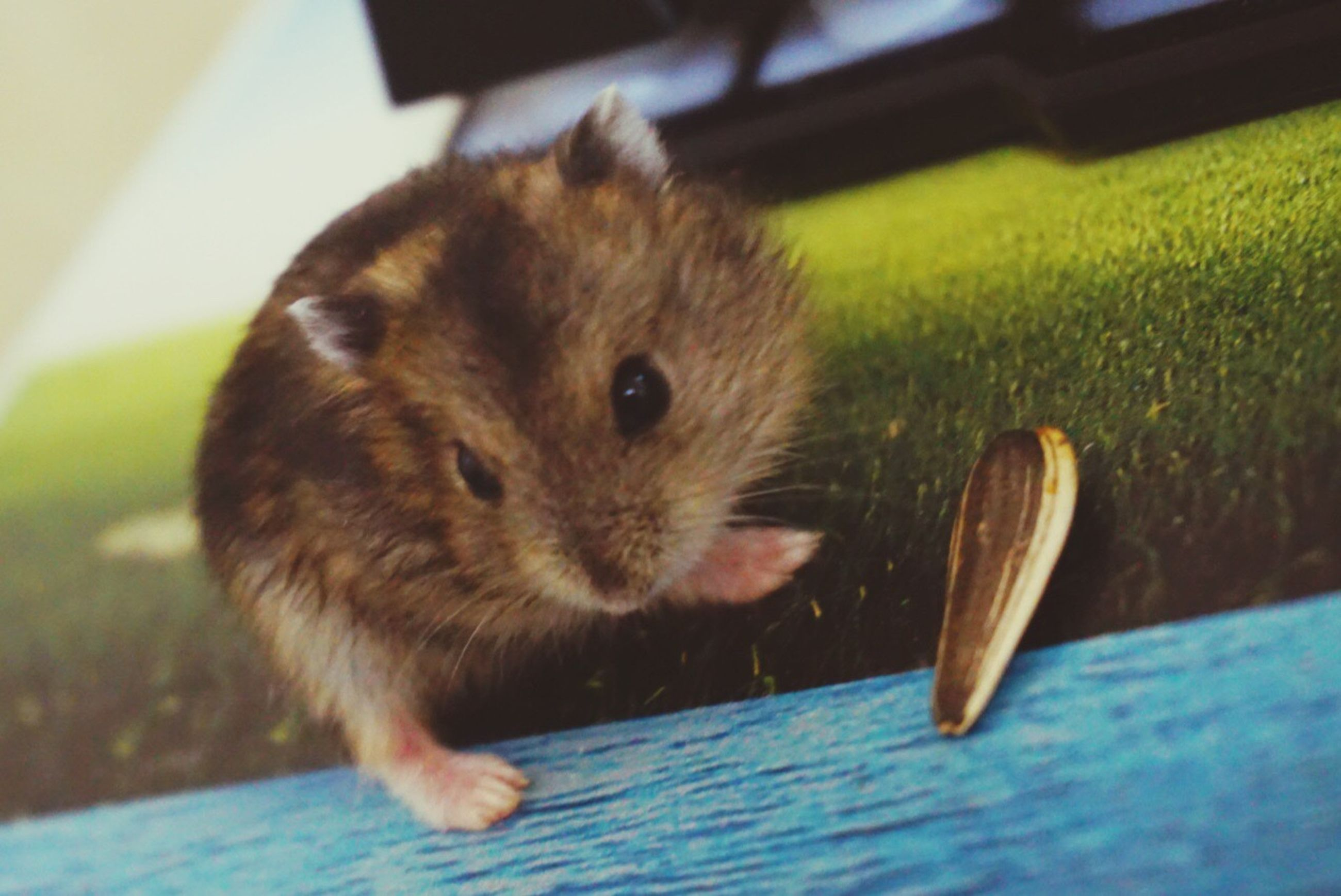 one animal, animal themes, close-up, mammal, hamster, no people, animal wildlife, nature, indoors, day