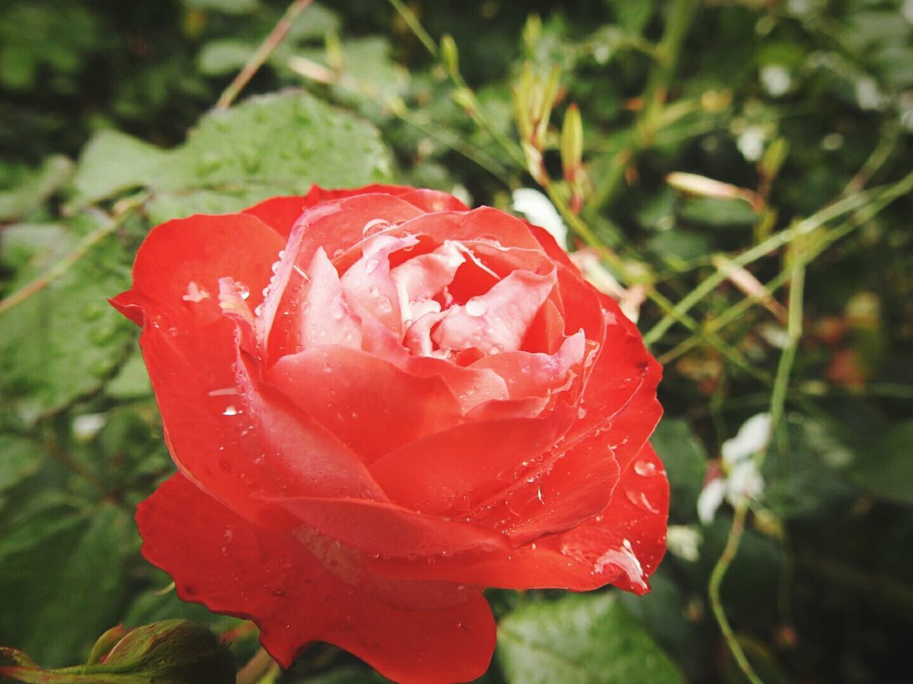 beauty in nature, flower, nature, growth, petal, drop, freshness, red, rose - flower, fragility, wet, plant, flower head, water, close-up, outdoors, day, no people, blooming