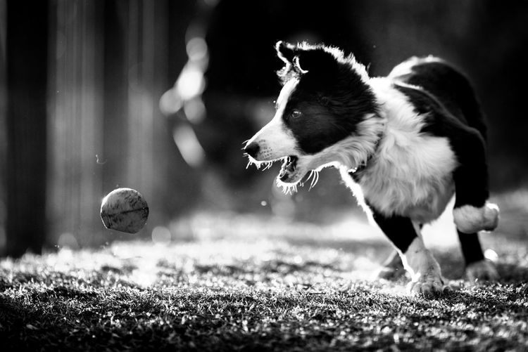 Side view of dog with ball on field